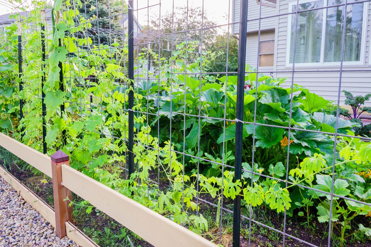Organically grown bitter gourd and luffa plants on cattle panel trellis. Squash, okra and kale plants in the background.
