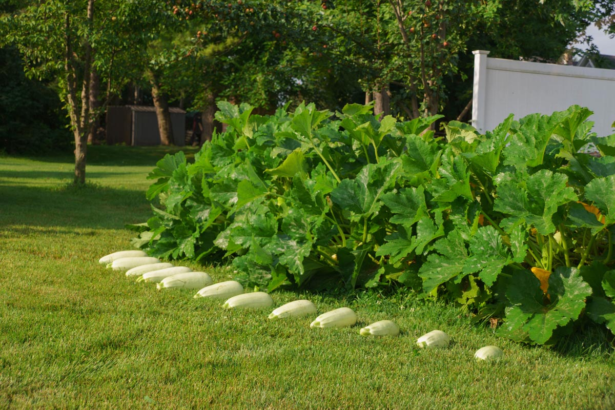 Barq squash fruits, harvested and arranged in front of the plants.