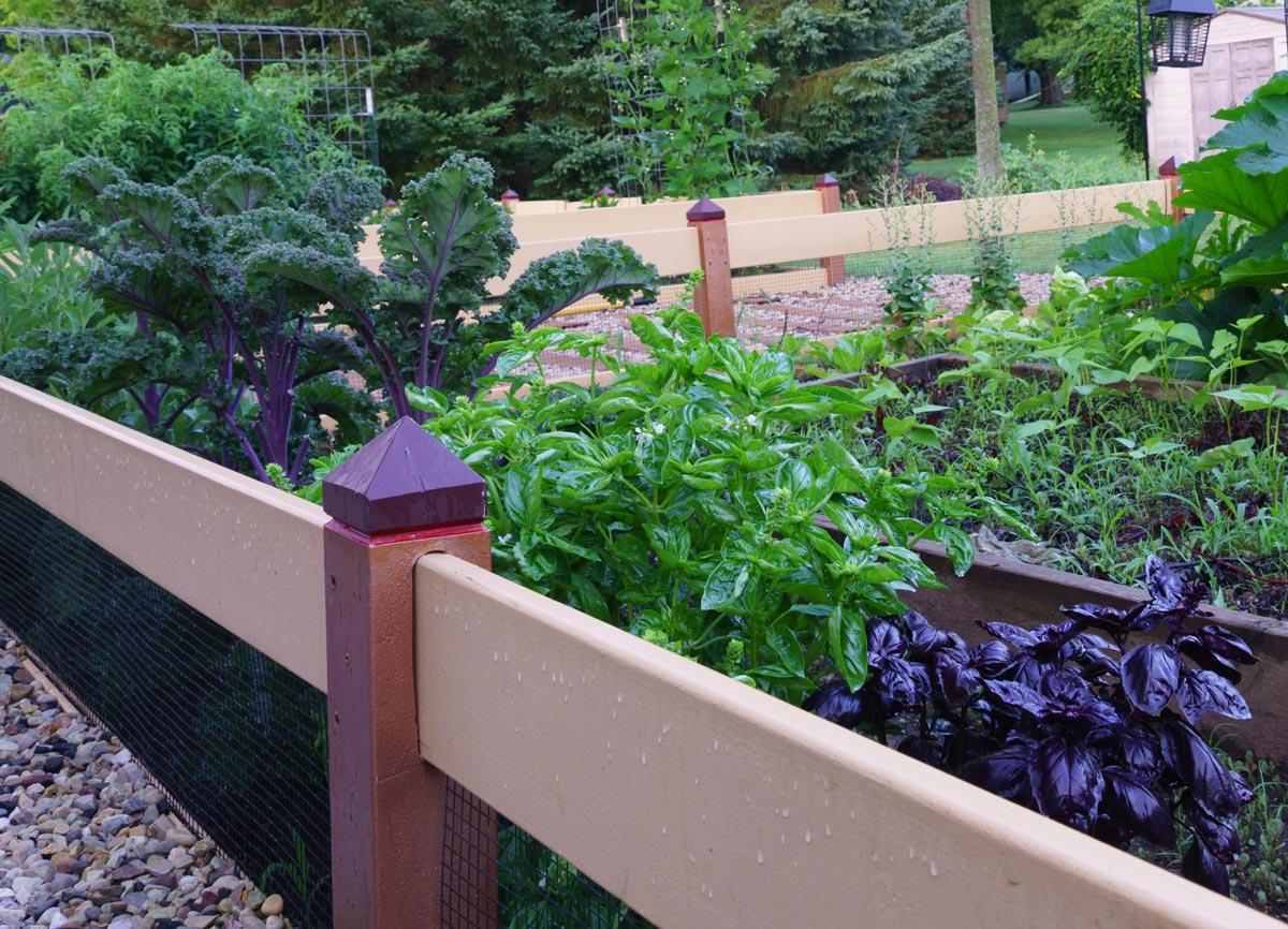 organically grown basil and kale palnts in fenced garden