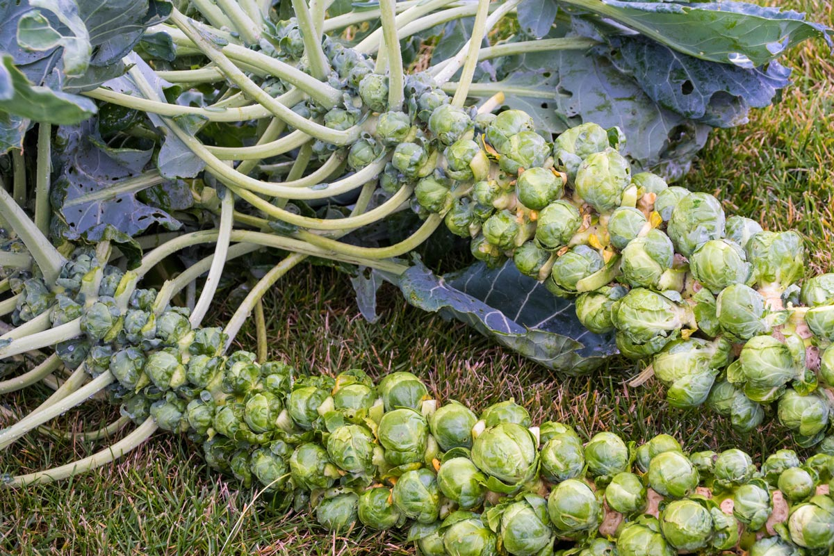 Two Brussels Sprouts plants with plenty of fruits