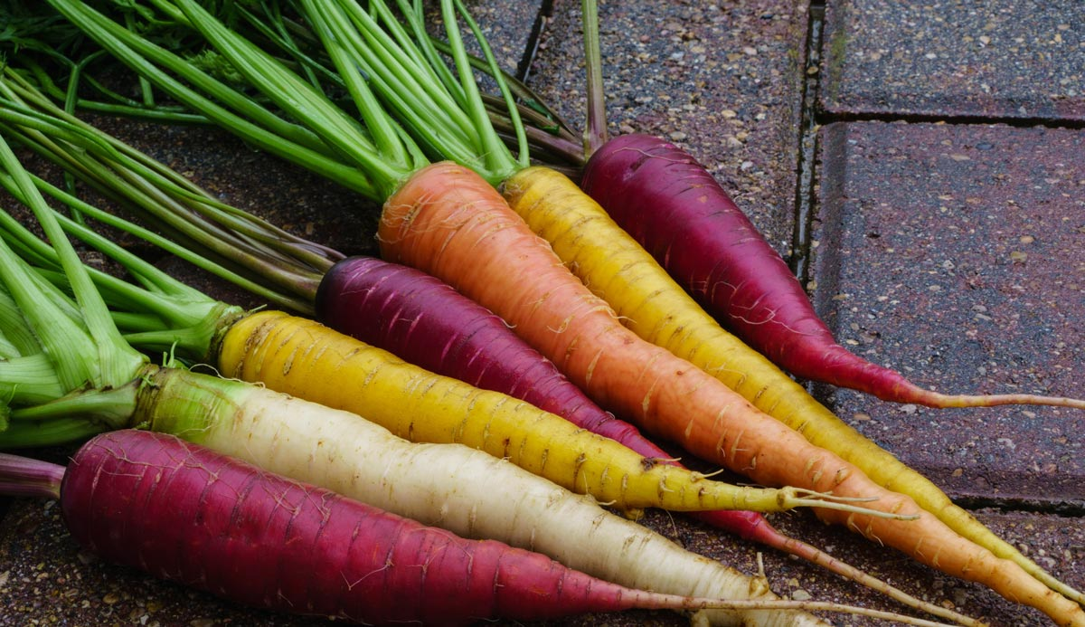 Rainbow carrots, harvested and cleaned.