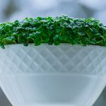 How We Grow Microgreens