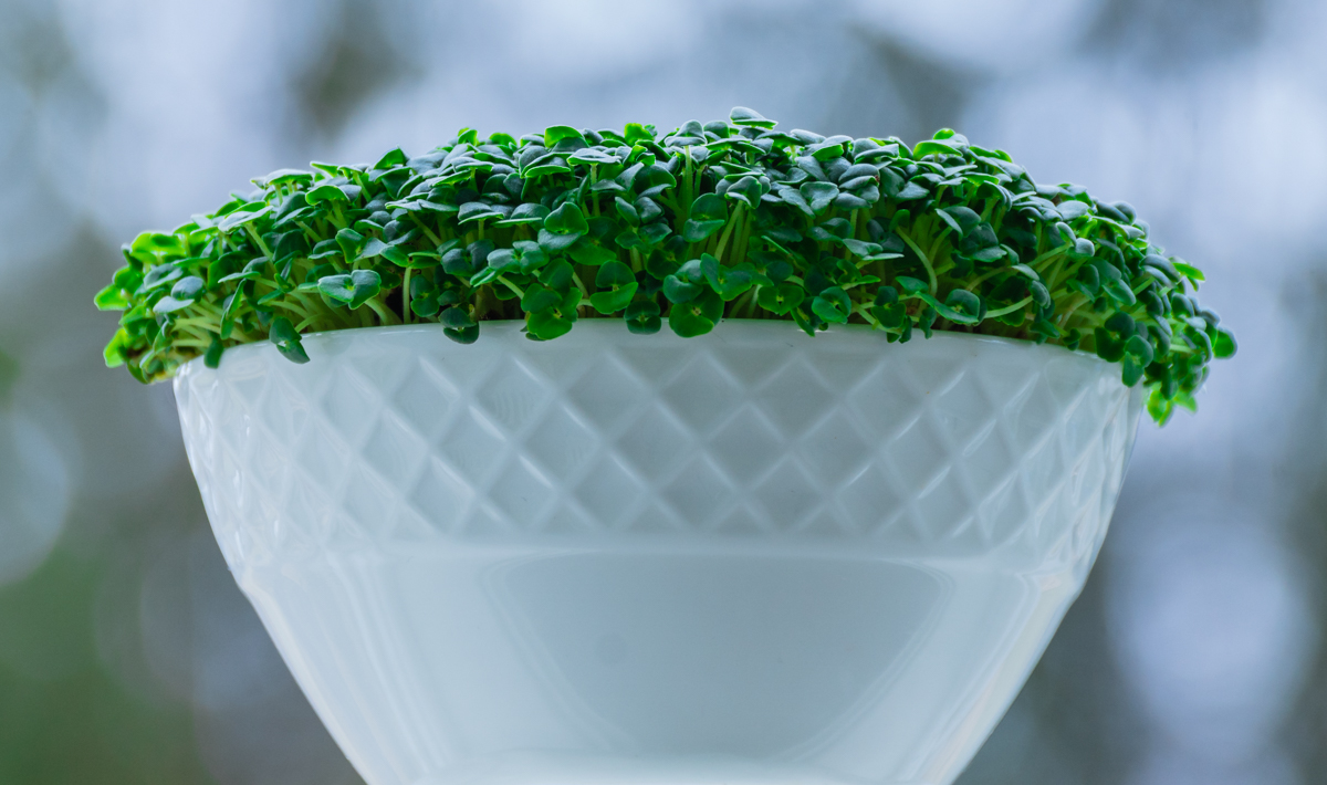Chia Microgreens growing in a bowl