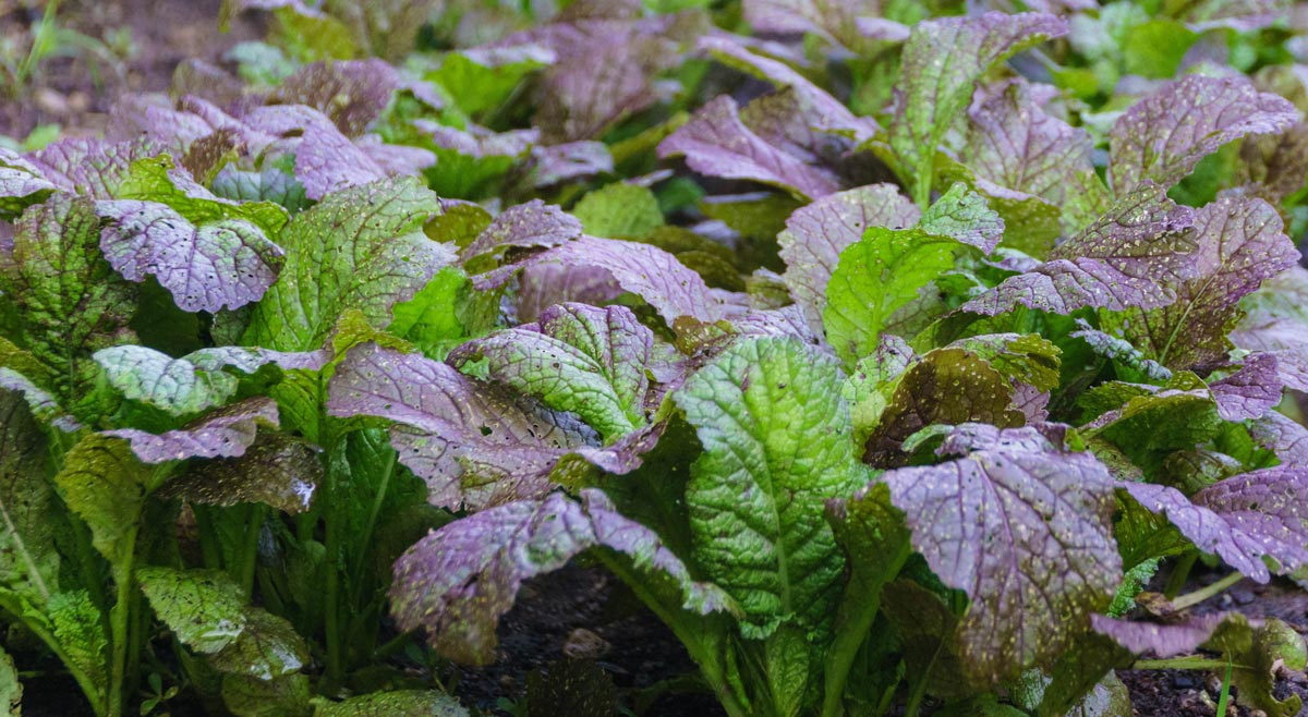 Japanese red mustard plants
