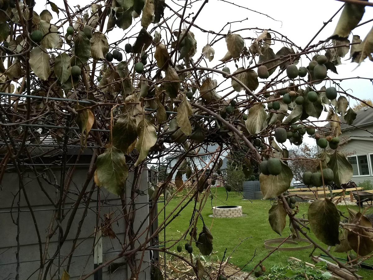 Hardy kiwi fruits, all dead after a hard frost.