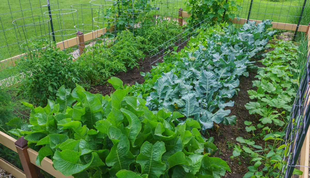 A lush vegetable garden full of organically grown plants.