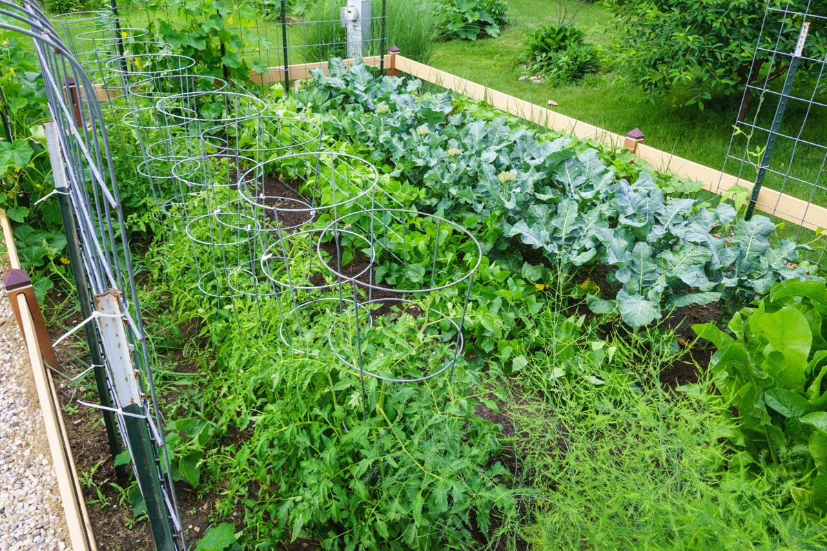 Lush vegetable garden, with rows of organically grown vegetables