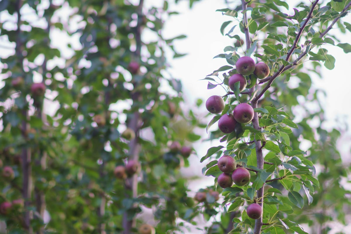 organically grown pear tree with ripe fruits