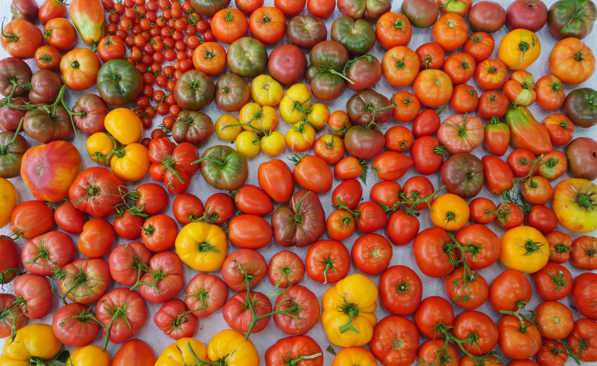 A wide variety of tomatoes