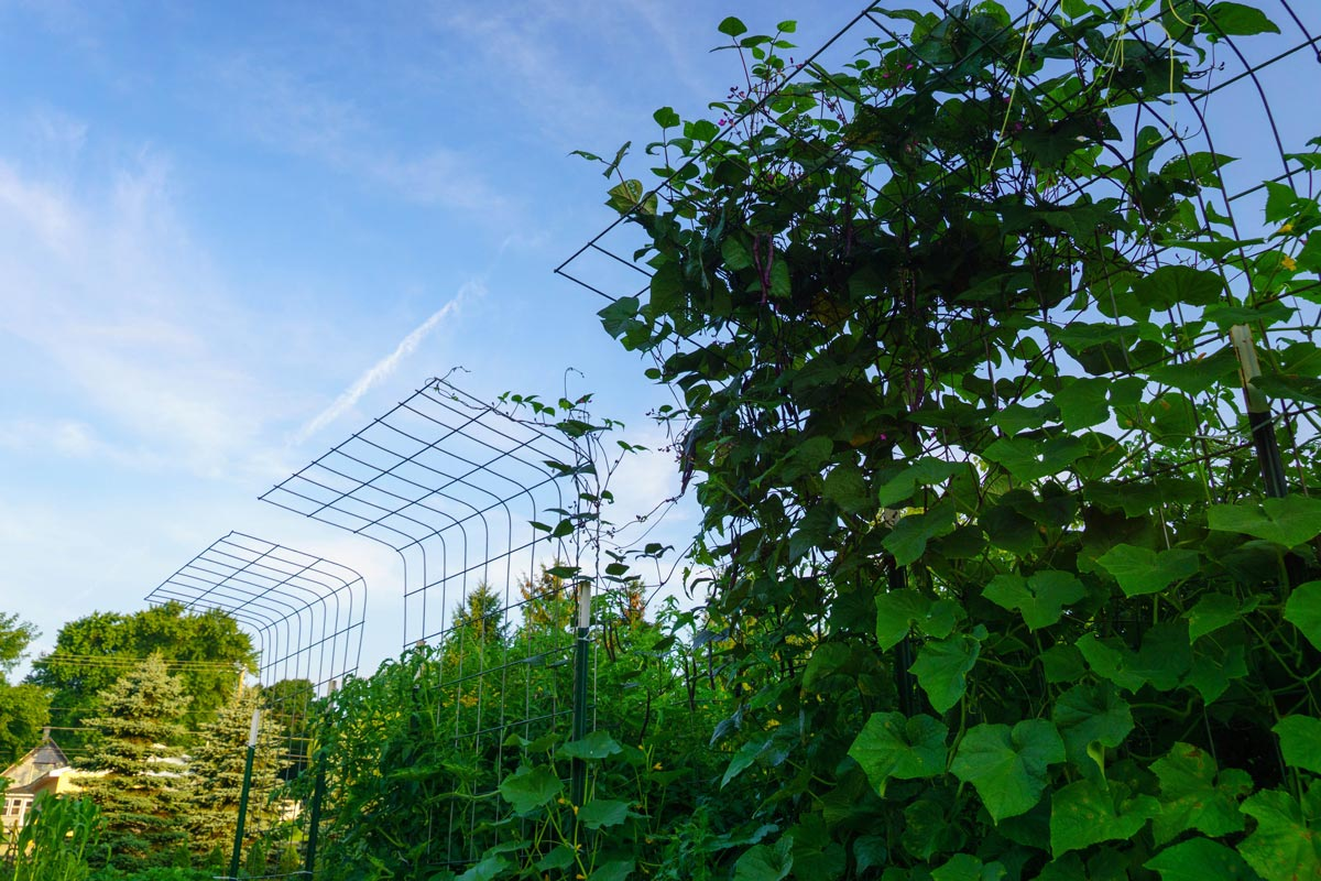 Organic vegetable plants climbing on cattle panel trellises