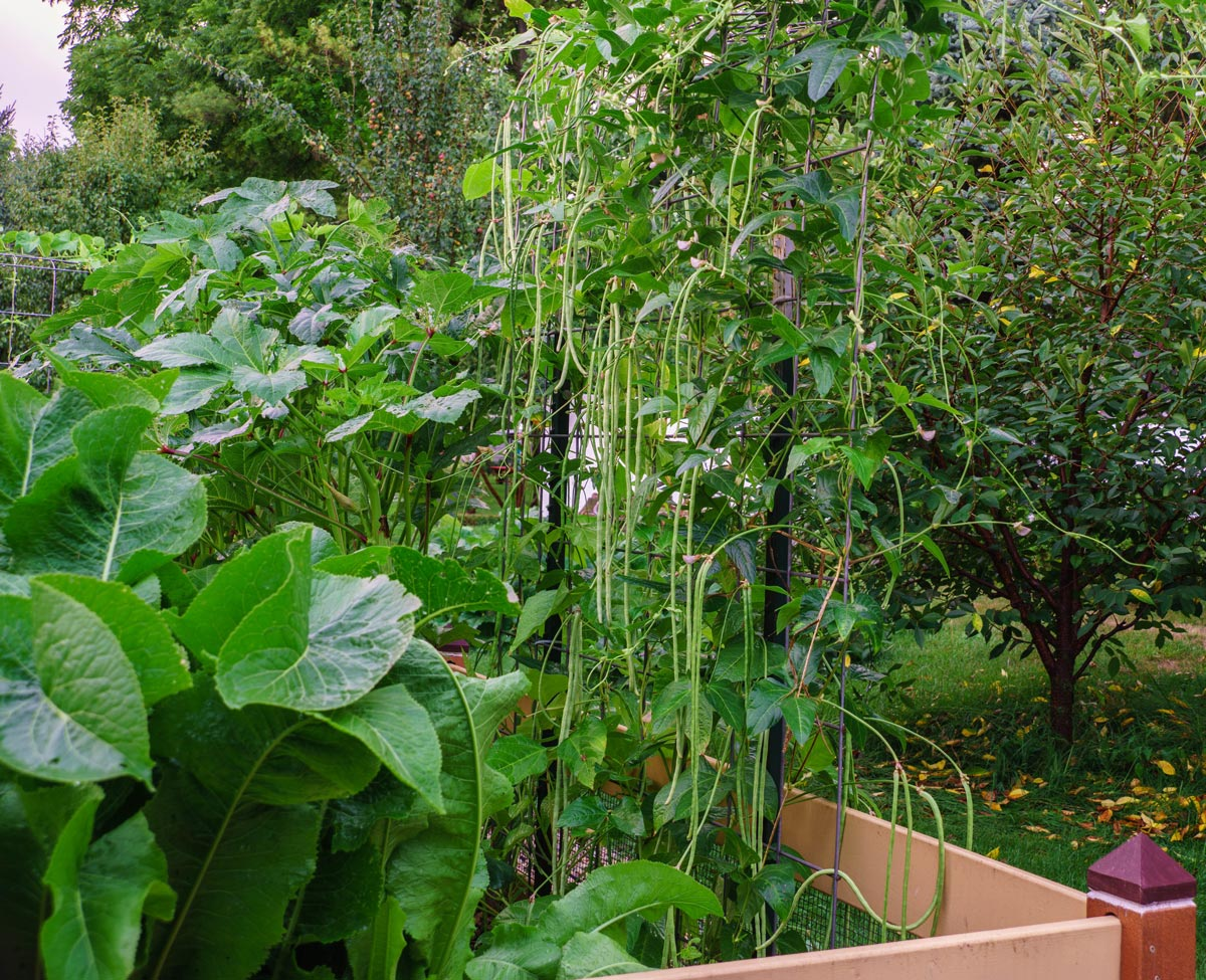Yard long bean on trellis, with okra and horseradish